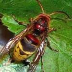 Если ребенка укусила пчела, оса, шмель или шершень